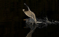 Herring gull, Larus argentatus, in dark water, landing-taking of, flight, Norway coast, Nr Trondheim.