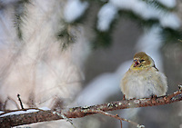 Chilly Goldfinch #B36