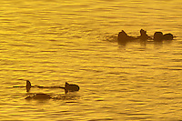 Sea Otter (Enhydra lutris).  Sunrise.  California. .