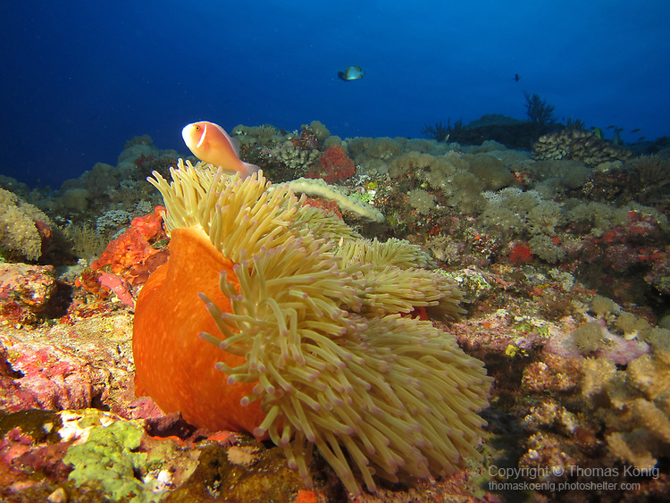 Orchid Island (蘭嶼), Taiwan -- Pink Anemonefish in his Magnificent Anemone at Jichang Waijiao (機場外礁)