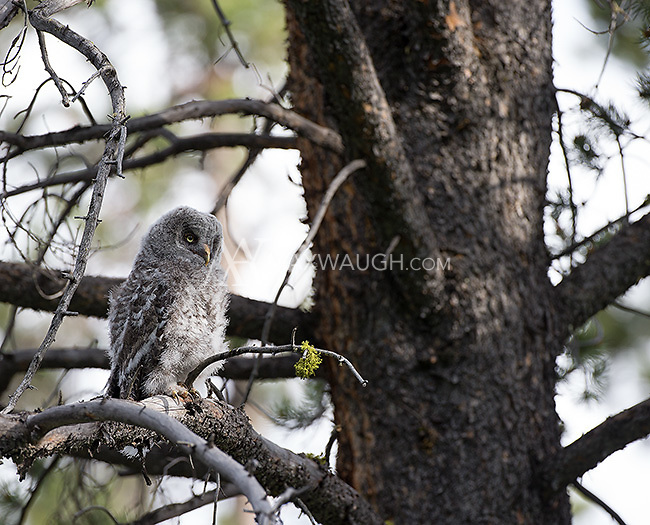 One of two great gray owlets photographed after they had fledged and were exploring nearby trees.