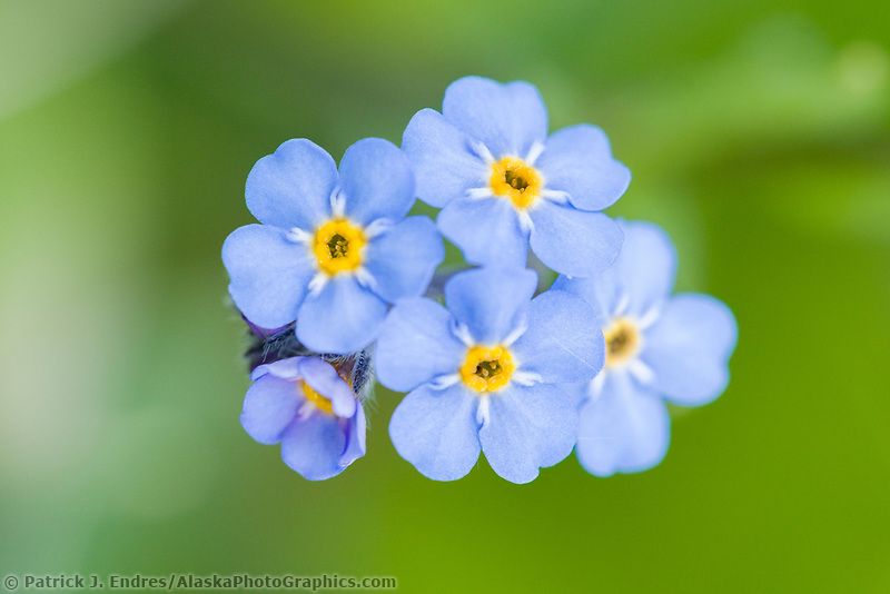 Forget me not, Alaska state flower, Denali National Park, Alaska
