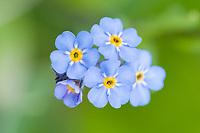 Forget me not, Alaska state flower, Denali National Park, Alaska