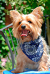 Toddy, Yorkshire Terrier