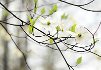 A delicate flowering Dogwood branch hanging with two flowers on it - A Free Stock Photo.