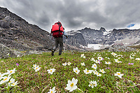 Man backpacks through summer wildflowers on the tundra in the Gates of the Arctic National Park, Alaska