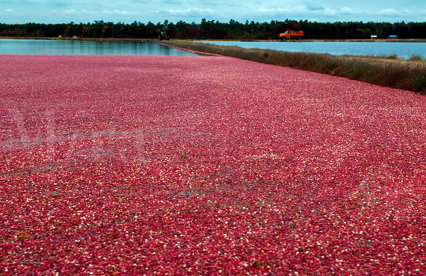 Cranberry bog in Pine Barrens New Jersey