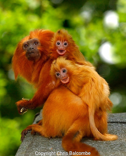 Golden Lion Tamarins happily smile for the camera on their father's back, at a Hampshire Zoological Park.<br />