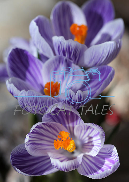 Crocus bloom in Gardnerville, Nev., on Sunday, March 12, 2017. <br /> Photo by Cathleen Allison/Nevada Photo Source