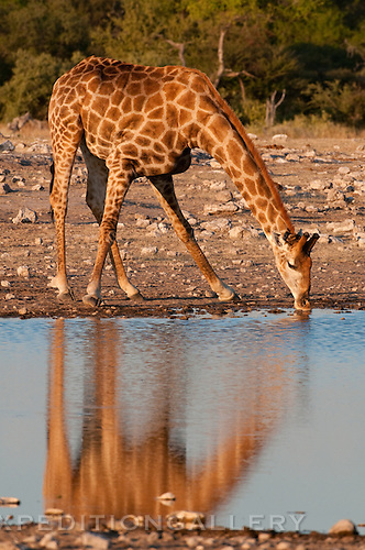Giraffe at waterhole, Etosha National Park, Namibia.