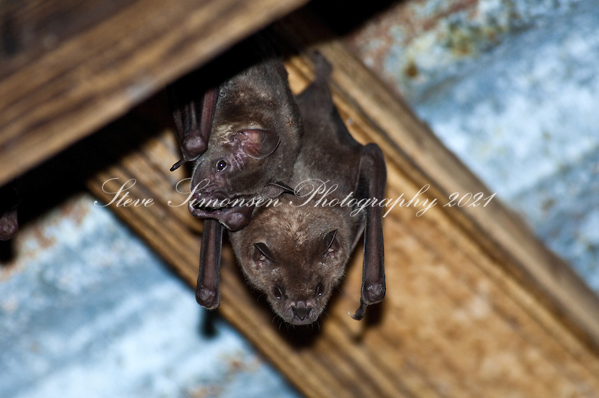 Fruit bats hanging from the rafters in the sugar mill building at Reef Bay. F.ruit bats are the only known indigenous mammal in the Virgin Islands.Virgin Islands National Park.St John, U.S. Virgin Islands