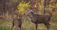 White-tailed fawn about to be wacked on the head for getting too close to a mature doe that was feeding in a Wisconsin meadow.