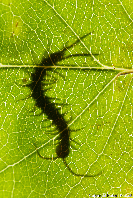 Common Centipede, Lithobius species, silhouette, backlight on leaf, in garden, showing head, segmented body, antennae and legs, green
