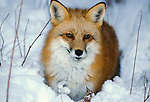 Red Fox ( Vulpes fulva ) Minnesota standing in snow.USA....