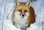 Red Fox ( Vulpes fulva ) Minnesota standing in snow.USA....