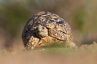 Leopard Tortoise (Stigmochelys Pardalis. Mashatu Game Reserve..Tuli block, Botswana..November 2010.