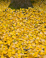 ORCAN_059 - USA, Oregon, Mount Hood National Forest, Fall-colored leaves of black cottonwood (Populus trichocarpa) cover ground and surround it's trunk.