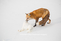 01871-02904 Red Fox (Vulpes vulpes) eating Arctic Fox (Alopex lagopus) at Cape Churchill, Wapusk National Park, Churchill, MB