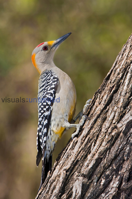 Golden-fronted Woodpecker (Melanerpes aurifrons) perched on a branch in South Texas, USA.