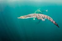 diver and Morelet's crocodile, Central American crocodile, Mexican crocodile, or Belize, Caribbean, Atlantic crocodile, Crocodylus moreletii, in cenote, or freshwater spring, near Tulum, Yucatan Peninsula, Mexico, Caribbean, Atlantic