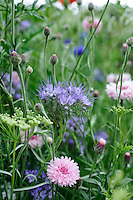 Phacelia and Cornflowers