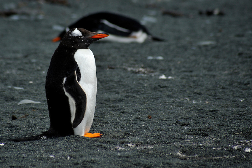 Solitary Splendor - A Gentoo penguin on Macquarie Island