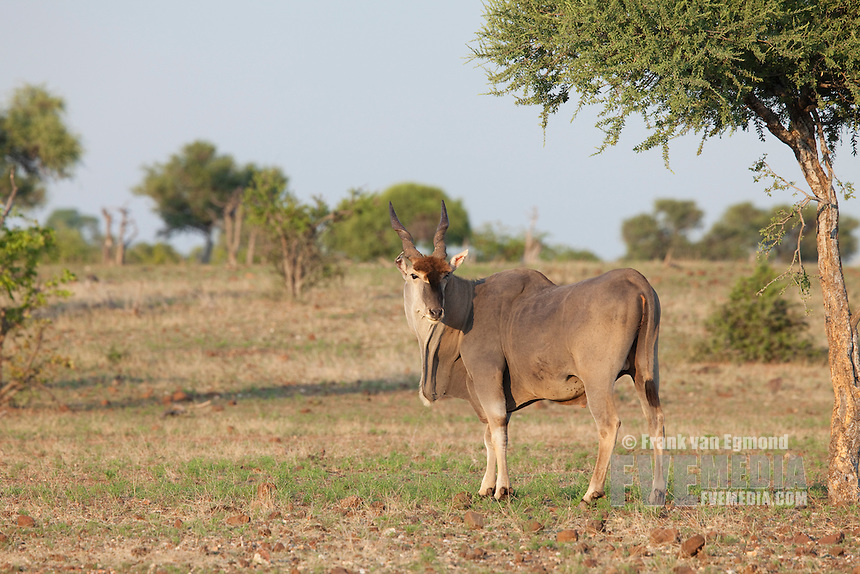 Eland (Taurotragus oryx)...Mashatu Game Reserve..Tuli block, Botswana..November 2010.