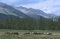 25 JUN 2002 - KHOVSGOL NATIONAL PARK, MONGOLIA - Horses graze in Khovsgol National Park. (PHOTO (C) NIGEL FARROW)