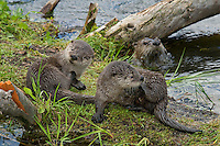 Northern River Otter (Lontra canadensis) family--two pups play and groom on old log while mother watches from background.  Western U.S., summer..