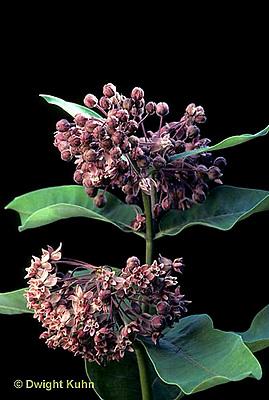 MK17-002c  Milkweed - flowers - Asclepias syriaca