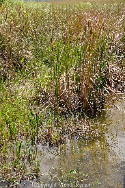 Cattails are considered an invasive plant in the Everglades.