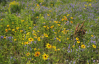 WIldlfowers (Black-eyed susans - Rudbeckia hirta - and vetch) in meadow<br /> Pendleton<br /> Ontario<br /> Canada