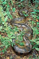 Anaconda; Eunectes murinus; Ecuador, Amazon Basin;