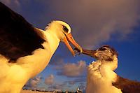 Laysan albatross feeding chick on laysan Island.