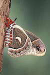 Robin Moth, Hyalophora cecropia, USA, America's largest silkmoth, Saturniidae, underside of wings