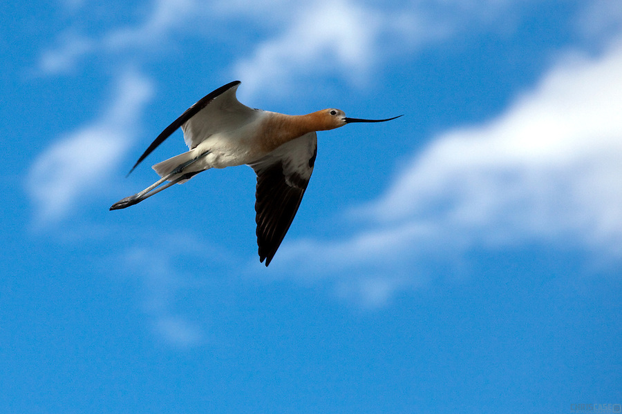 With its elegant profile and striking coloration, the American Avocet (Recurvirostra americana) is unique among North American birds. In summer it can be found in temporary and unpredictable wetlands across western North America where it swings its long upturned bill through the shallow water to catch small invertebrates. <br /> <br /> The Pawnee National Grasslands of northeastern Colorado provide such a temporary wetland habitat, especially during late spring.