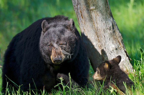 "Wild Black Bear (Ursus americanus) mother with cub.  Western U.S., spring. (These are what are known as ""coys""--cubs of the year.)"