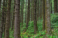 ORCOC_D284 - USA, Oregon, Siuslaw National Forest. Cape Perpetua Scenic Area, Coastal rainforest of Sitka spruce (Picea sitchensis) with understory of salal (Gaultheria shallon).