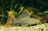 Gefleckter Kaktuswels, Leopard-Kaktuswels, Xingu-Kaktuswels, Pseudacanthicus leopardus, Leopard Pleco, Cactus Pleco