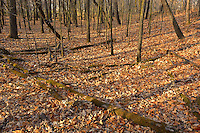 Autumn leaves in Seine River Forest.<br /> Winnipeg<br /> Manitoba<br /> Canada