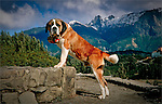 Saint Bernard Dog poses at Bariloche, Argentina