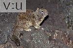 California Ground Squirrel (Citelius beecheyi) San Diego, California