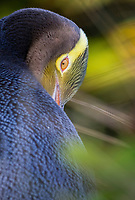 yellow-eyed penguin, Megadyptes antipodes, endangered species, South Island, New Zealand