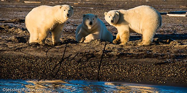 Polar bears walking the shore of the Beaufort Sea in Alaska