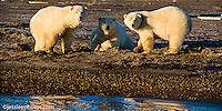 Polar bears walking the shore of the Beaufort Sea in Alaska