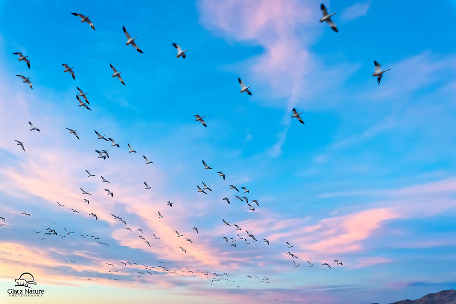 Snow Geese ( Chen caerulescens) stretch across the sky as they leave a pond at Bosque del Apache National Wildlife Refuge, New Mexico.