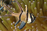 Schooling Banggai cardinalfish in anemone tentacles. (Pterapogon kaudemi). Male crries babies in its mouth for 3-4 weeks.