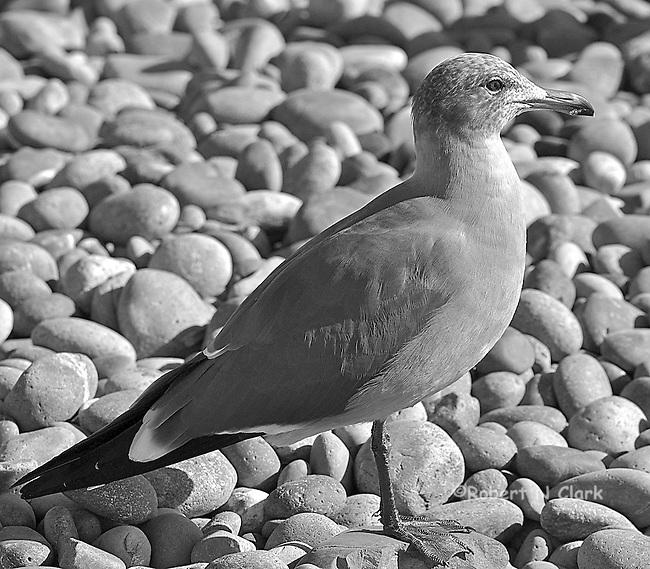 Seagulls on rocky beach, San Elijo State Beach, (This guy owns the beach!)