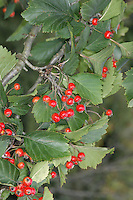Pear-fruited Hawthorn Crataegus pedicellata Height to 7m. Deciduous shrub. Leaves are diamond-shaped to near-palmate with lobed, toothed margins. Flowers are pinkish-white and borne in sprays. Fruits are bright scarlet berries, borne in clusters.