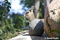 0604-1110  Klipspringer (Rock Jumper Antelope), Small Antelope on Boulders, Oreotragus oreotragus  © David Kuhn/Dwight Kuhn Photography